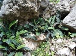 Σκορπίδι [ceterach officinarum]